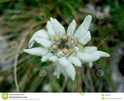 edelweiss fiore alpino fiore alpino di edelweiss immagine stock immagine 15580651