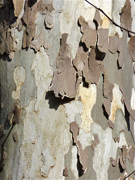 Why Do Sycamore Trees Shed Their Bark by The Big White Tree With The Peeling Bark Nature