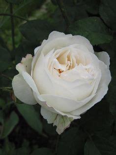 themes in rose blanche 1000 id 233 es sur le th 232 me boutures de rose sur pinterest