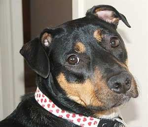 terrier rottweiler mix rottweiler breed a great family protector ultimate guide