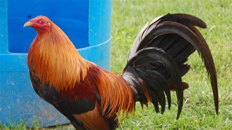 peleas de gallos finos 2015 gallos finos criaderos de gallos fotos de gallos finos