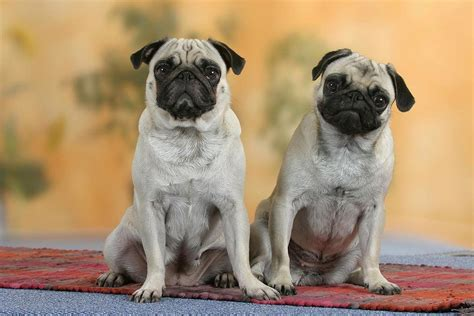 pug puppies breeders pug images new photos hd wallpapers