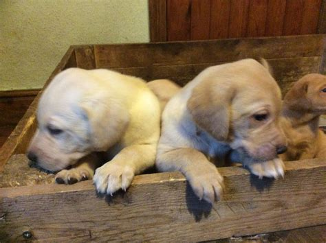 yellow labrador puppies for sale pin puppies all day every on