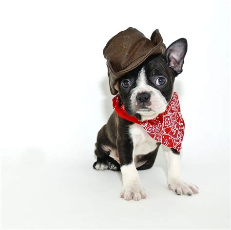 boston terrier puppies maryland 55 best dressed up dogs images on animals