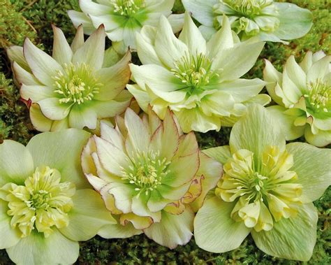 product viewer helleborus golden lotus