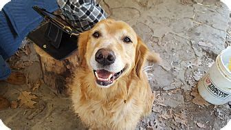 golden retrievers for adoption in pa media pa golden retriever meet elliot a for adoption