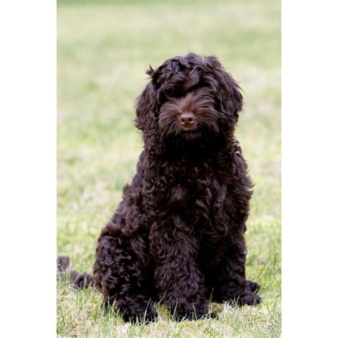 labradoodle puppies for sale oregon puppies for sale australian labradoodle australian labradoodles f category in