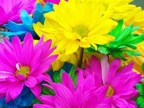multi colored daisies flickr photo
