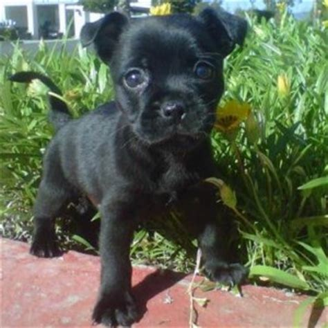 information on pug puppies pug breed information