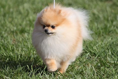 pomeranian breed history pomeranian breed information pomeranian images pomeranian breed info