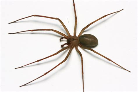 control  brown recluse spiders insects   city