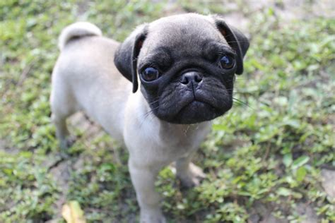 things for pugs 10 things only a pug owner would understand pugs are awesome