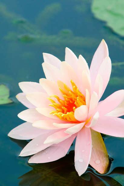 posizione fiore di loto la pianta loto sapere it