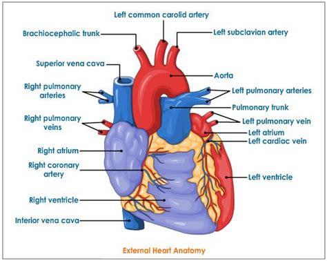 apex pattern works heart diagram diagram site