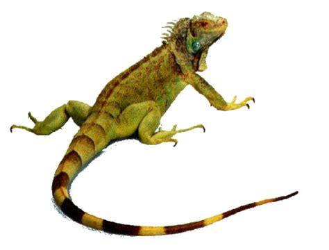 imagenes de iguanas rojas cuidados b 225 sicos que debemos tener con las iguanas
