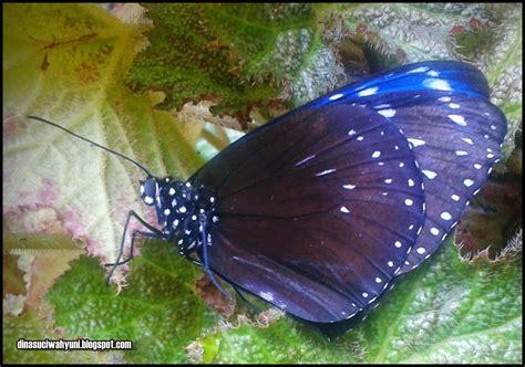 kupu kupu hitam  cantik jdsk