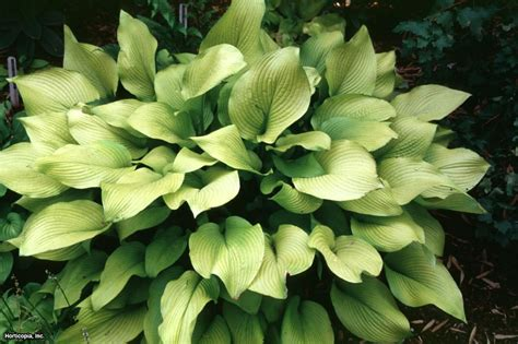 hostas for sun hgtv