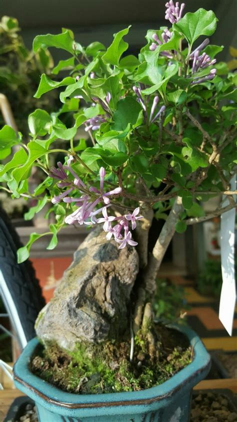 bonsai fiori albonsai piante e fiori freschi bonsai milanomia