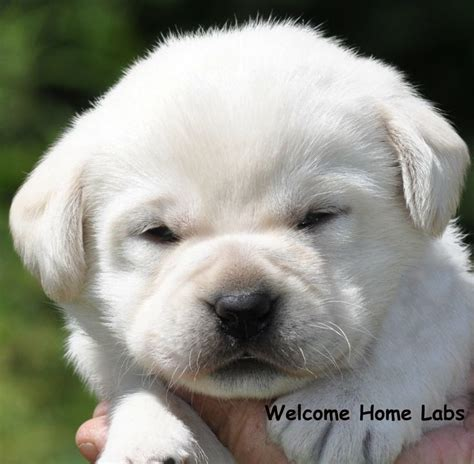 the dog house mn best 25 labrador puppies for sale ideas on pinterest
