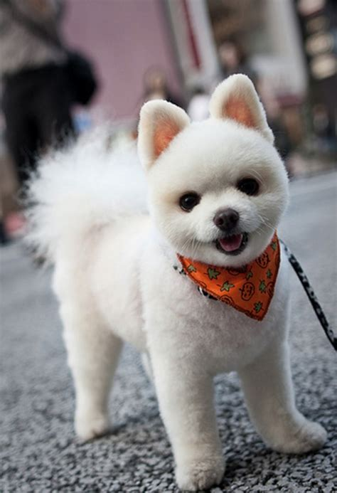 pomaradian french hair cut 17 best ideas about pomeranian haircut on pinterest dog