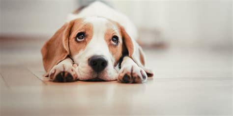 quiet dog breeds calm dog breeds