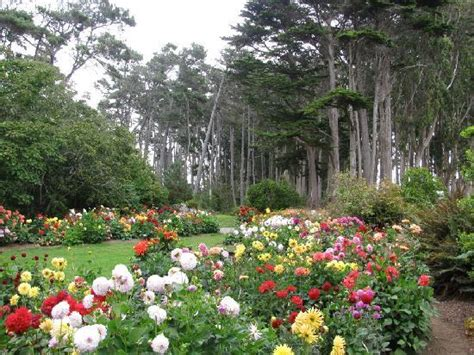 fort bragg botanical garden dahlias the attraction in august picture of
