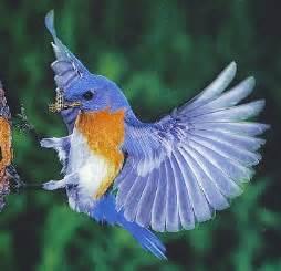 blue bird migration patterns 187 patterns gallery