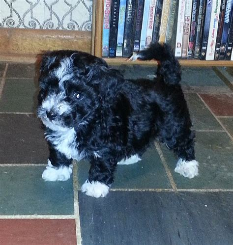 curly haired havanese pictures of curly haired havanese merrywaykennel