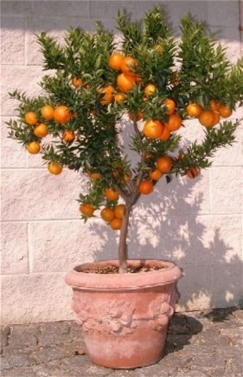 serra per limone in vaso chinotto citrus myrtifolia agrumi