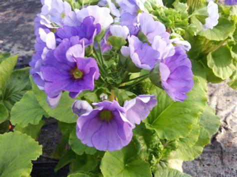 fiori d appartamento piante da appartamento primaverili