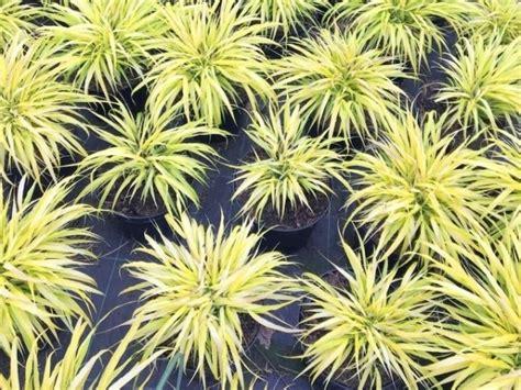 Fargesia Robusta Cbell Kaufen 33 by Goldbandgras Hakonechloa Macra All Gold Kaufen Bambusb 246 Rse