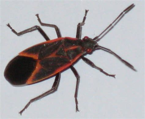 box elder bugs archives page 6 of 8 what s that bug