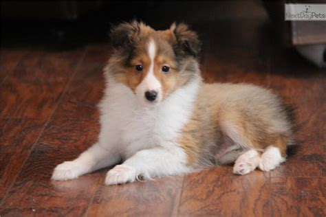 free sheltie puppies sprucy akc shetland sheepdog sheltie puppy for sale near grand rapids michigan