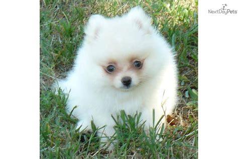 pomeranian coast pomeranian puppy for sale near springfield missouri f71748f6 0611