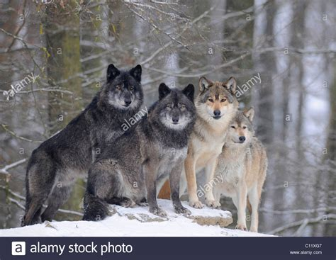 what is a wolf mackenzie wolf alaskan tundra wolf or canadian timber wolf canis stock photo
