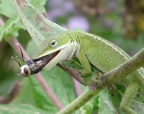 what do backyard lizards eat what do lizards eat in their natural habitat quora