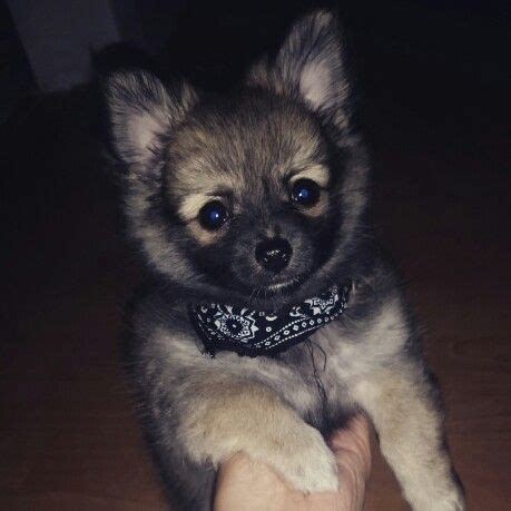 pomeranian puppies for sale in flint michigan 25 best ideas about pomeranian chihuahua on baby dogs puppies