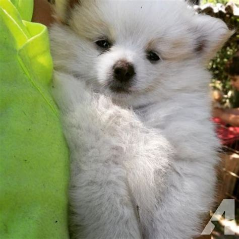 pomeranian breeders indiana beautiful pomeranian puppies for sale in monterey indiana classified americanlisted