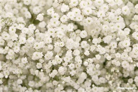Baby's Breath plant, Gypsophila   How To Grow And Care