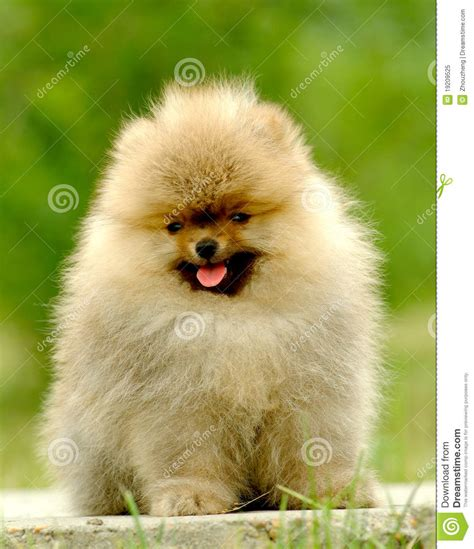 german pomeranian german pomeranian royalty free stock photo image 19209525