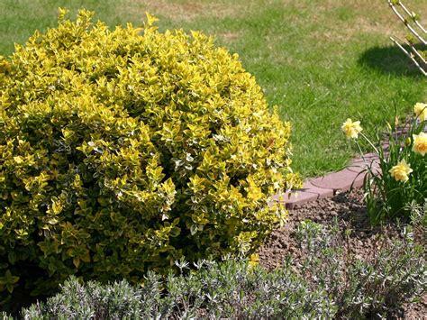 Ideas For A Backyard Euonymus Emerald And Gold Backyard Garden Shade Sun