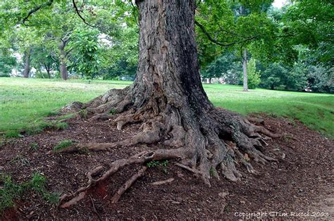 fruitless mulberry tree roots bing images