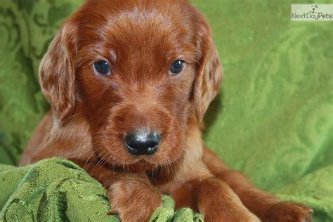 setter dog price charlie irish setter puppy for sale near louisville