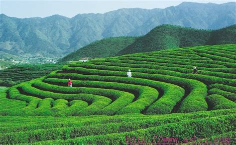 Coffee Taking Root In The Land Of Oolong   Jing Daily