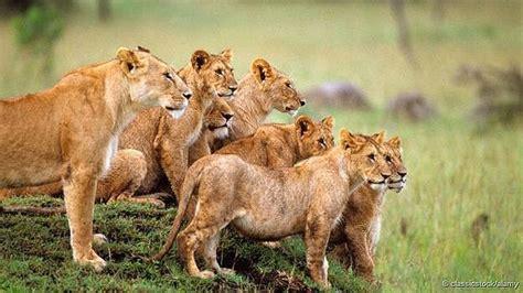 imagenes manada leones siete razones para amar a los leones tele 13