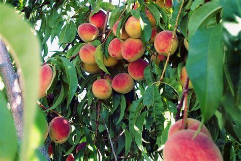 fertilizing fruit trees tree fertilizer how to fertilize trees