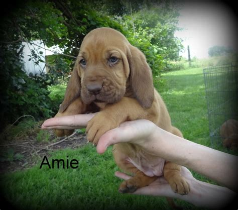 bloodhound puppies for sale in pa sold to marylin quot aime quot dun 650 on a spay contract parents are spirit