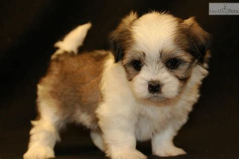 malshi puppies meet bailey a mal shi malshi puppy for sale for 650 bailey sold to christa