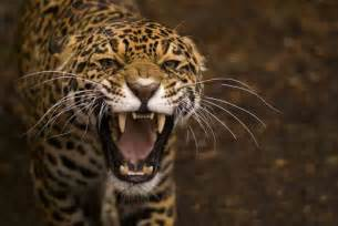 Jaguar And Cat 10 Big Cats And Where To Spot Them