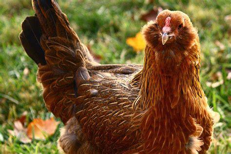 chicken breeds   small farm  backyard flock
